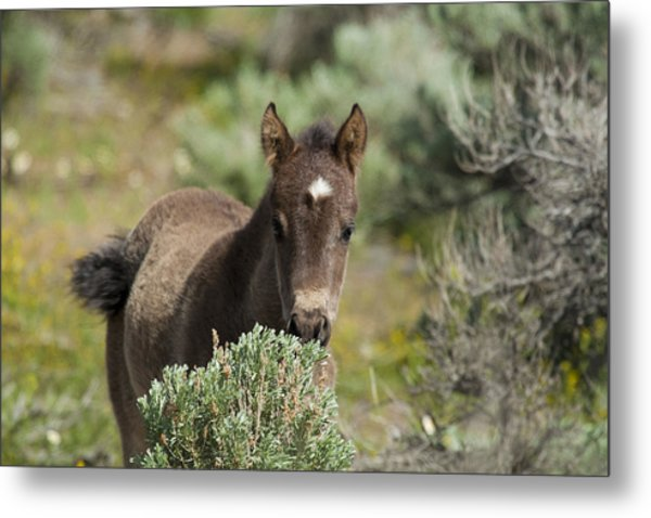Wild Mustang Foal Metal Print