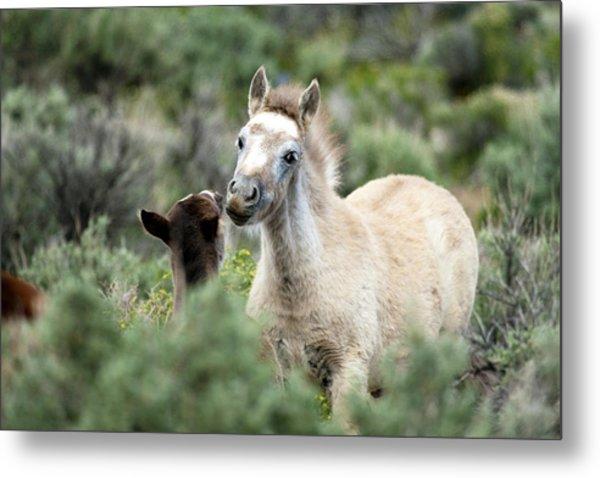 Wild Mustang Foals Metal Print