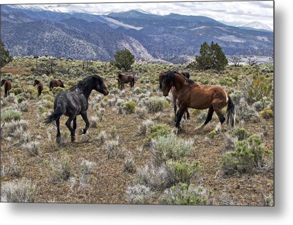 Wild Mustang Stallions Fighting Metal Print