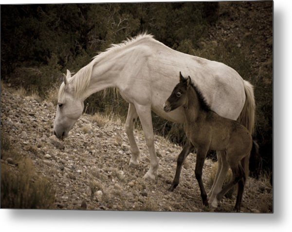 Wild Mustangs Of New Mexico 22 Metal Print