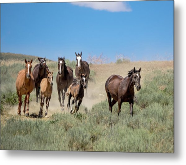 wild mustangs on the run to the water hole in Sand Wash Basin Metal Print