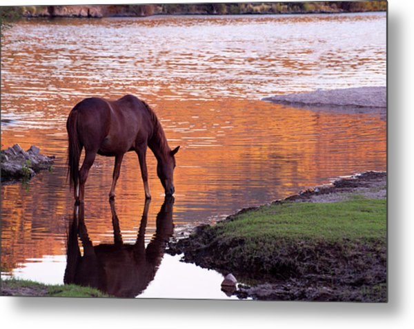 Wild Salt River Horse At Saguaro Lake Metal Print