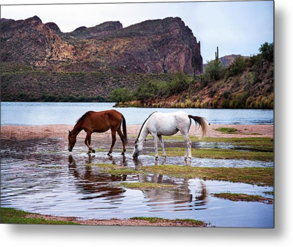 Wild Salt River Horses At Saguaro Lake Arizona Metal Print
