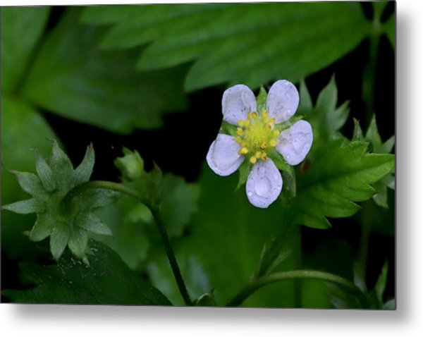 Wild Strawberry Blossom And Raindriops Metal Print