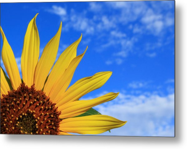 Metal Print featuring the photograph Wild Sunflower by Shane Bechler