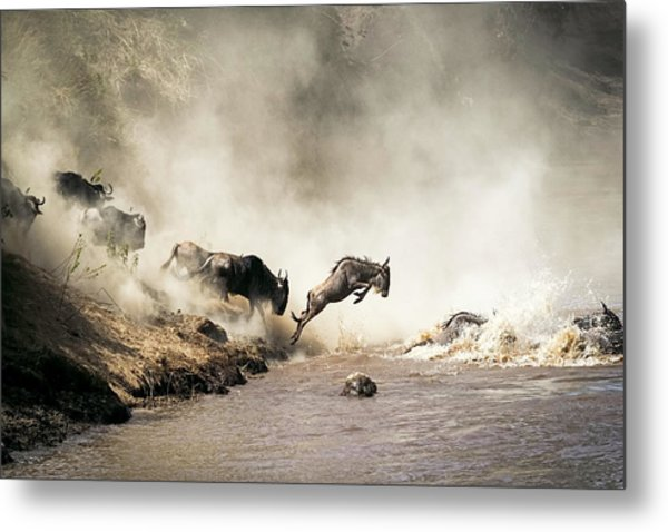Wildebeest Leaping In Mid-air Over Mara River Metal Print