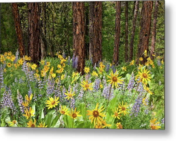 Balsamroot And Lupine In A Ponderosa Pine Forest Metal Print