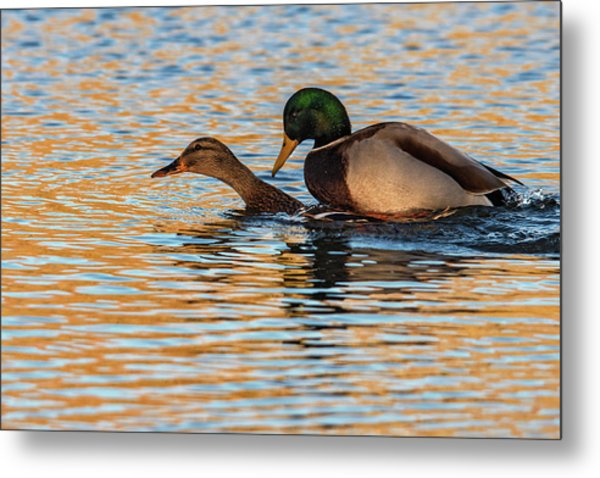 Wildlife Love Ducks  Metal Print