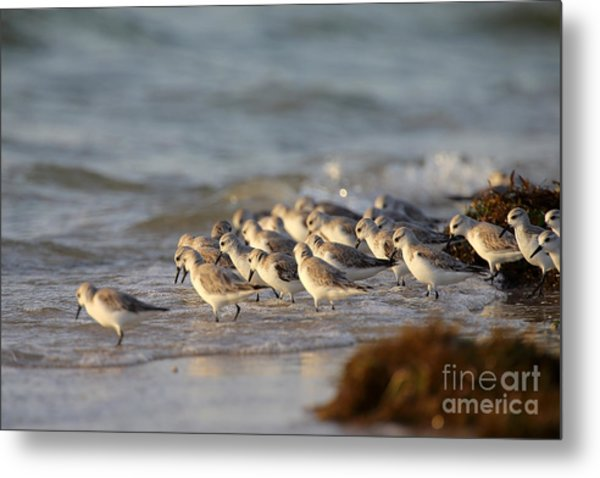 Willets On The Shore. Metal Print by Rick Mann