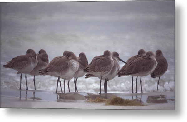Willets  Metal Print