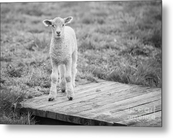 Williamsburg Lamb Metal Print