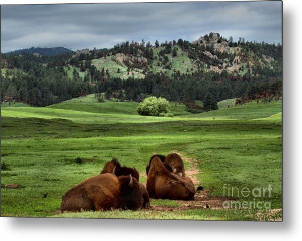 Wind Cave Bison Metal Print