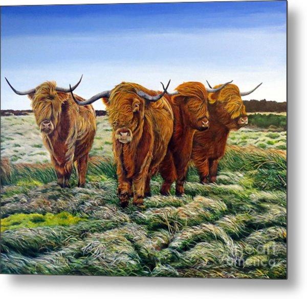 Windswept Highland Cattle  Metal Print