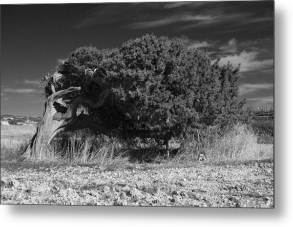Windswept Olive Tree Metal Print by Donald Buchanan