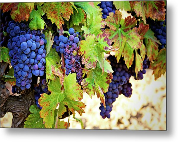 Wine Country - Napa Valley California Photography Metal Print