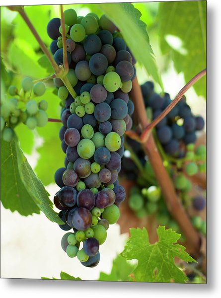 Wine Grapes Metal Print by Sharon West