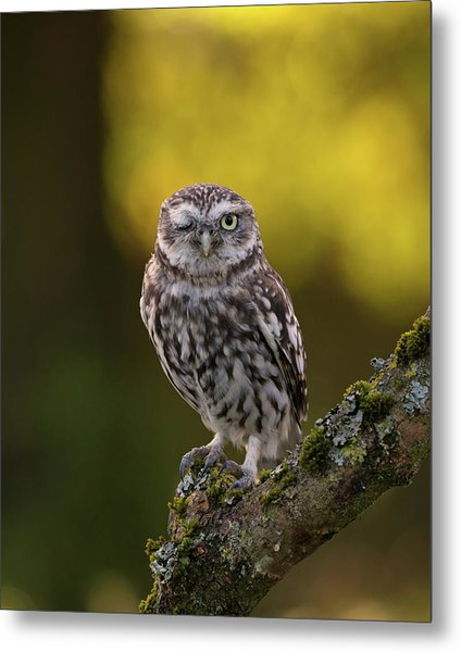 Winking Little Owl Metal Print