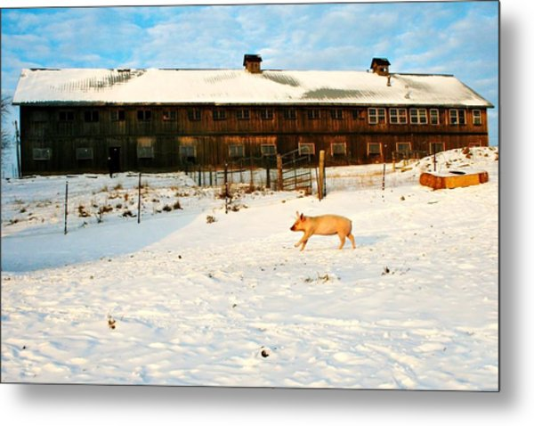 Winnie At Heartland Farm Sanctuary Metal Print