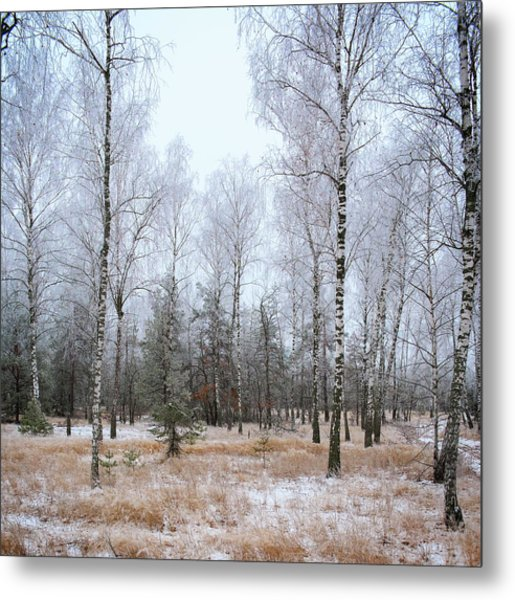Winter Forest. Shchymel, 2014. Metal Print
