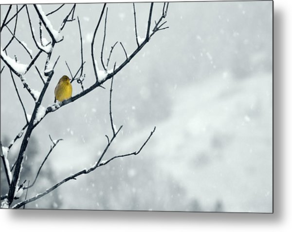 Winter Snow With A Touch Of Goldfinch For Color Metal Print