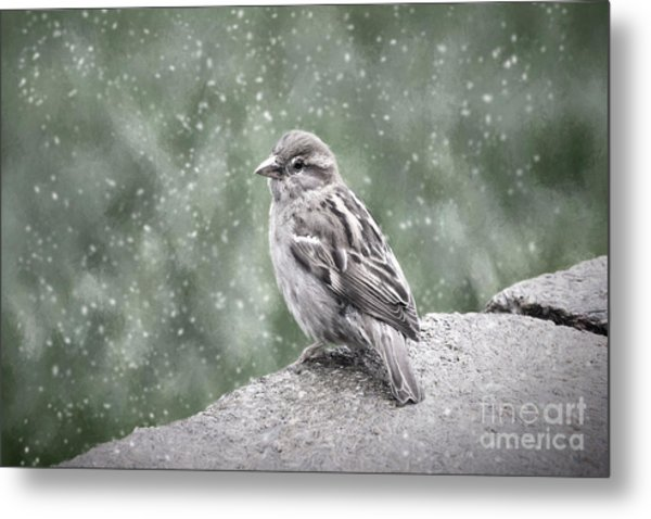 Winter Sparrow Metal Print