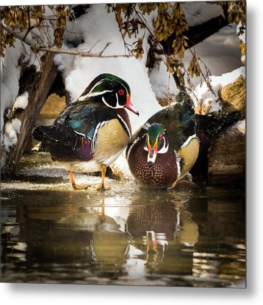 Winter Visitors - Wood Ducks Metal Print