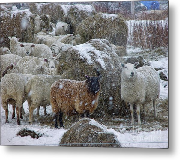 Wintering Sheep Metal Print