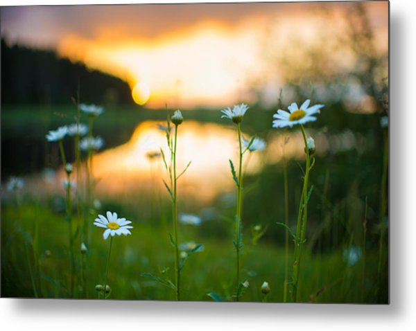 Wisconsin Daisies At Sunset Metal Print