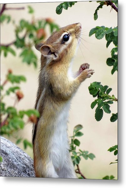 Within Reach - Chipmunk Metal Print