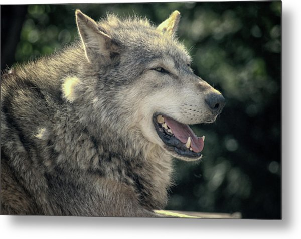 Wolf Rock Metal Print