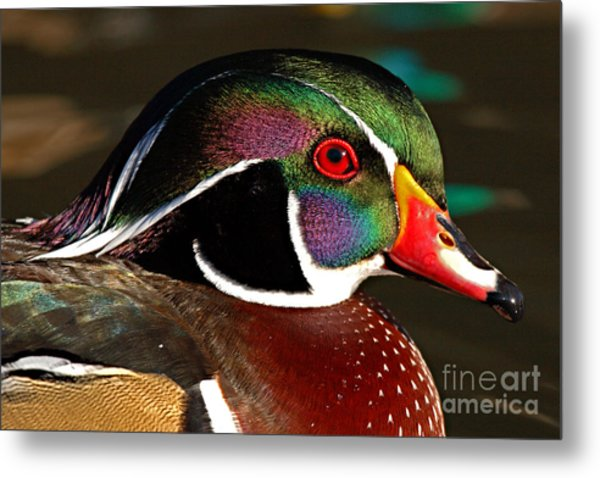 Wood Duck Courtship Colors Metal Print