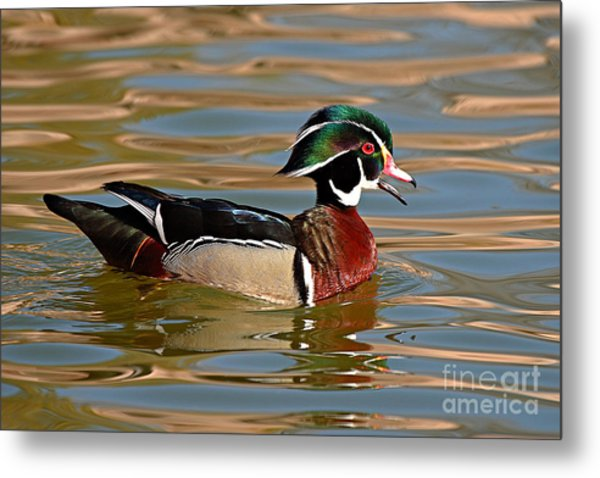 Wood Duck Drake Calling On The Pond Metal Print