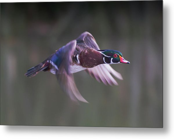 Wood Duck Flight Metal Print
