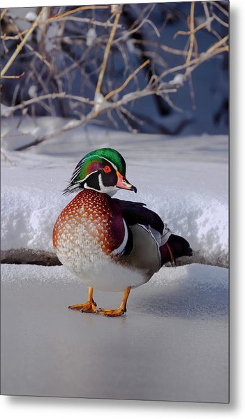 Wood Duck In Winter Snow And Ice, Montana, Usa Metal Print