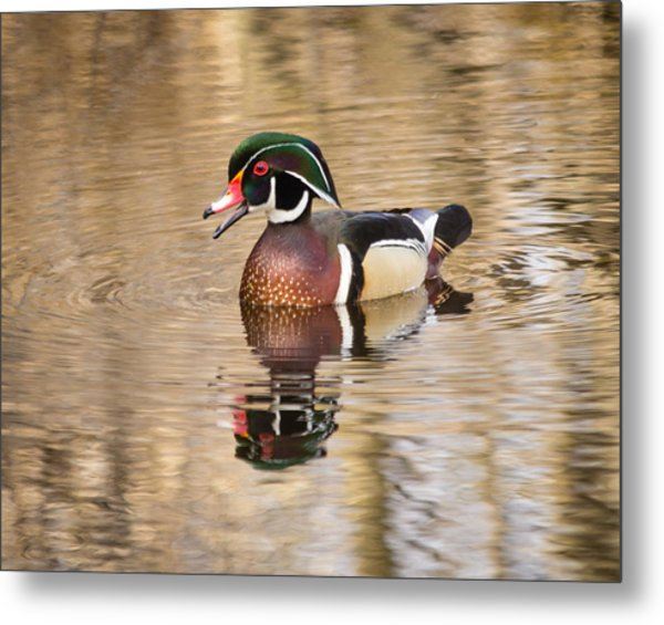 Wood Duck With Reflection Metal Print
