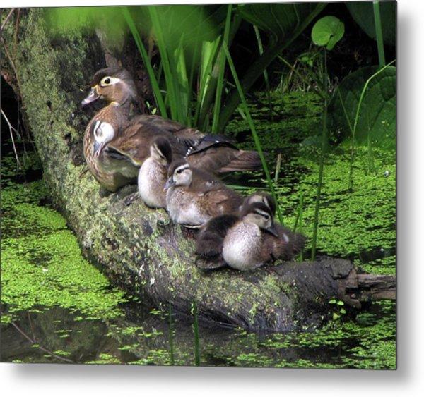 Wood Ducks On A Log Metal Print