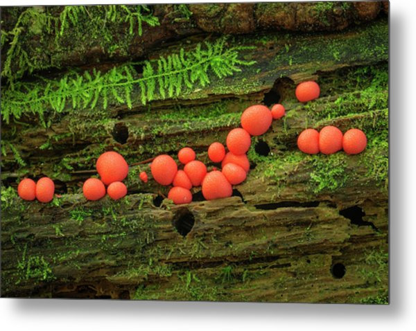 Wood Fungus Metal Print