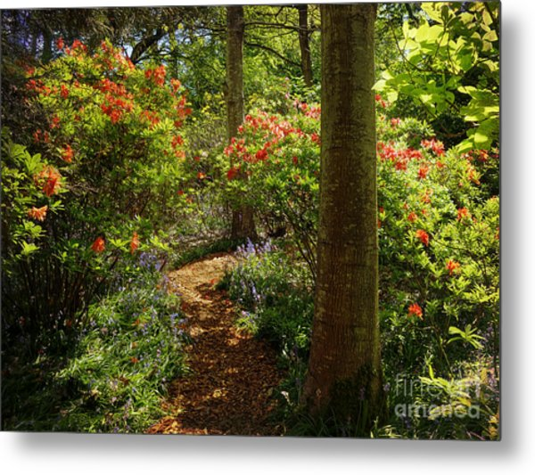 Woodland Path With Rhododendrons Metal Print