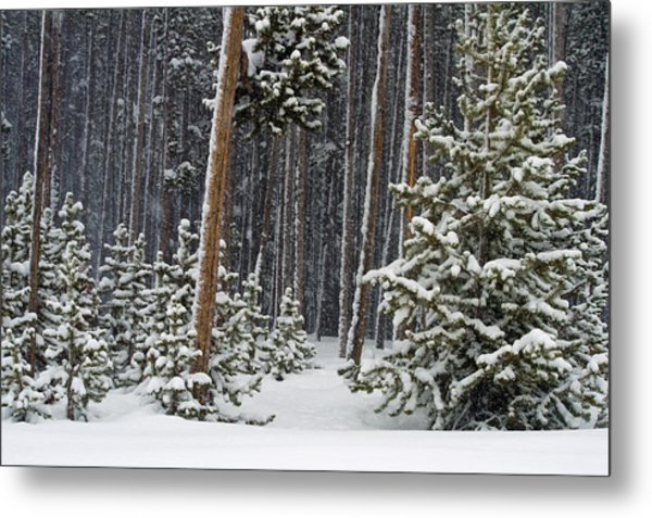 Woodland Snowstorm In Yellowstone Metal Print