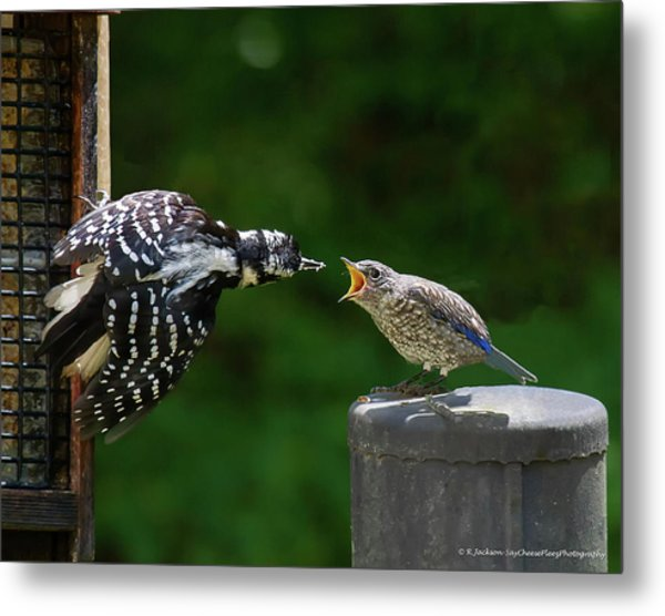 Woodpecker Feeding Bluebird Metal Print