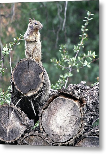 Woodpile Squirrel Metal Print