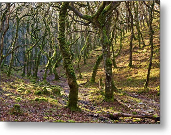 Woods Near Badgeworthy Water Exmoor Metal Print