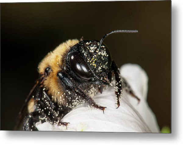 Worker Bee And Pollen Detail Metal Print