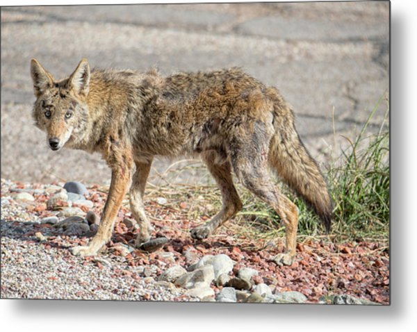 Metal Print featuring the photograph Worn Down Coyote by Dan McManus