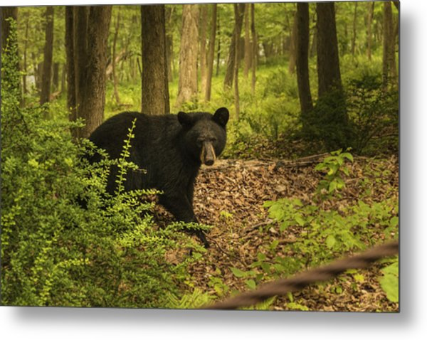Yearling Black Bear Metal Print
