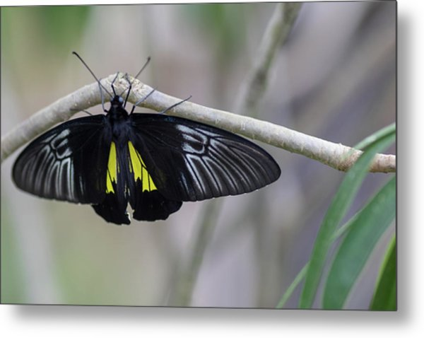 Yellow And Black Butterfly Metal Print