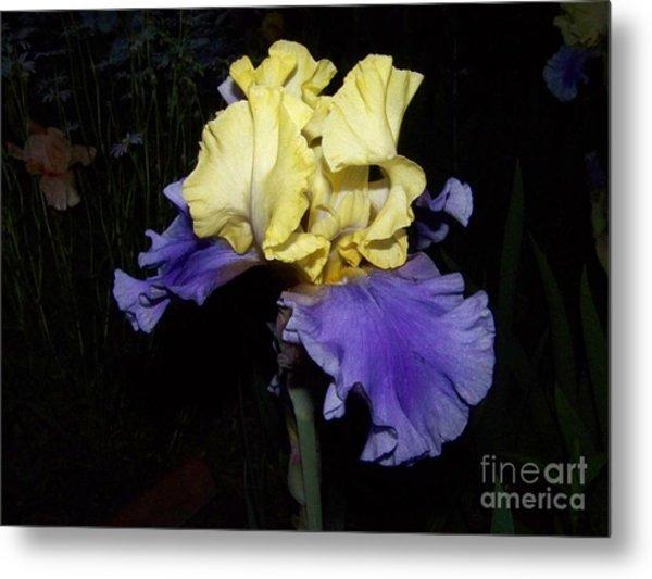 Yellow And Blue Iris Metal Print