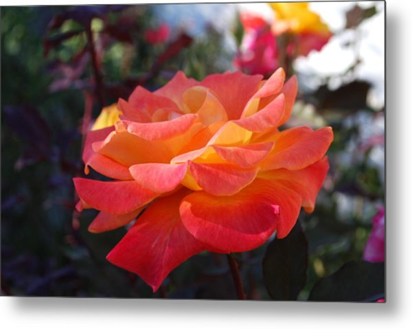 Yellow And Pink Rose Metal Print