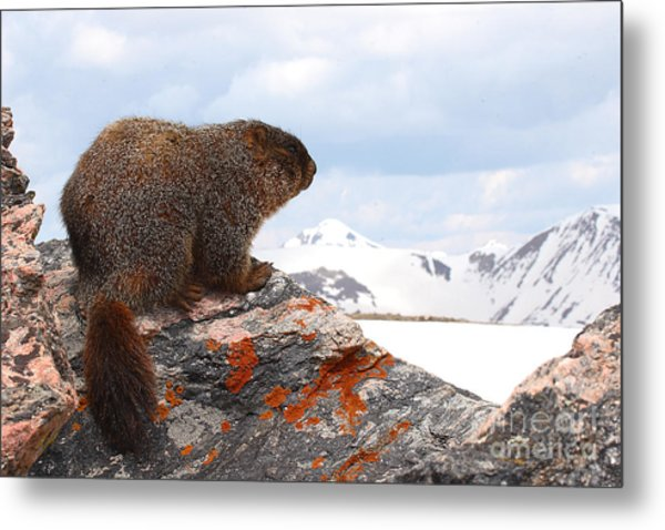 Yellow-bellied Marmot Enjoying The Mountain View Metal Print