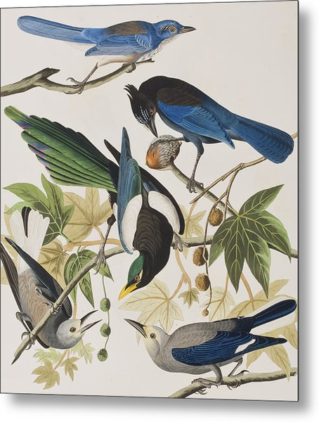Yellow-billed Magpie Stellers Jay Ultramarine Jay Clark's Crow Metal Print